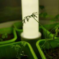 Spirerne vokser i drivhuset