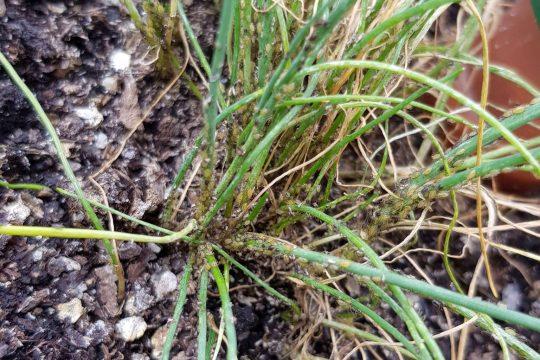 Masser af små grønne og sorte bladlus på purløgene