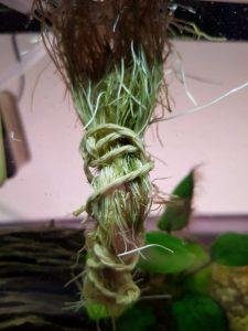 Rødderne vokser meget ved akvaponisk dyrkning