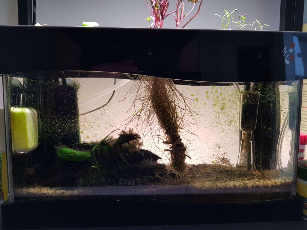 Der er god algevækst i akvariet